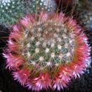 Mammillaria magnifica ???