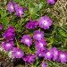 Wulfenov jeglič Primula wulfeniana