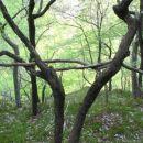 Suhi veji sta 'skočili' v rogovili dreves