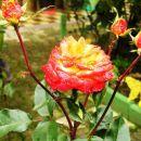Naša roža