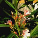 .Oleander