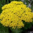 Achillea - RmanAvtor: potonka rastline.mojforum.si