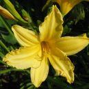 Hemerocallis - Maslenica H. 'Golden Song'  Avtor: zupka, rastline.mojforum.si