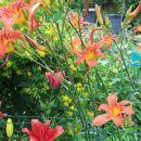 Hemerocallis - Maslenica, enodnevna lilija Avtor: potonka rastline.mojforum.si