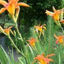Hemerocallis - Maslenica, enodnevna lilija Avtor: katrinca  rastline.mojforum.s