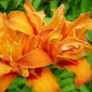 Hemerocallis - Maslenica, enodnevna lilija Avtor: muha rastline.mojforum.si