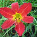 Hemerocallis - Maslenica, enodnevna lilija Avtor: Gretka* rastline.mojforum.si