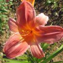 Hemerocallis - Maslenica, enodnevna lilija Avtor:zupka rastline.mojforum.si