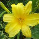 Hemerocallis - Maslenica, enodnevna lilija Avtor: zupka  rastline.mojforum.si