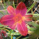 Hemerocallis - Maslenica, enodnevna lilija Avtor: harka rastline.mojforum.si