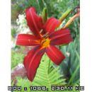 Hemerocallis - Maslenica, enodnevna lilija Avtor: linda rastline.mojforum.si