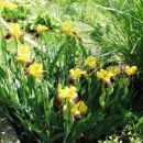 Iris - Bradata perunika, Iris  Avtor: magnolija, rastline.mojforum.si