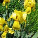 Iris - Bradata perunika,  Avtor: magnolija, rastline.mojforum.si