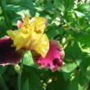 Iris - Bradata perunika, Iris Avtor: potonka rastline.mojforum.si