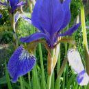 Iris sibirica – sibirska perunika,nebradata Avtor:katrinca  rastline.mojforum.si