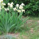 Iris - Bradata perunika, Avtor: magnolija rastline.mojforum.si