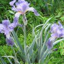 Iris - Bradata perunika, Avtor: potonka rastline.mojforum.si