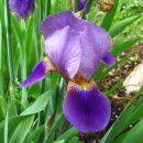 Iris sibirica – sibirska perunika,nebradata Avtor:muha  rastline.mojforum.si