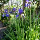 I.sibirica – sibirska perunika,nebradata Avtor:katrinca  rastline.mojforum.si