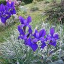 Iris - Perunika Avtor: romana rastline.mojforum.si