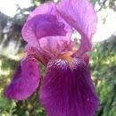 Iris - Bradata perunika, Avtor: zupka rastline.mojforum.si