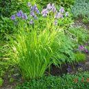 I.sibirica – sibirska perunika,nebradata Avtor:muha rastline.mojforum.si