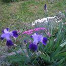 Iris - Bradata perunika, Avtor:romana rastline.mojforum.si