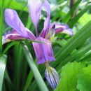 Iris - Kraški iris Avtor:potonka rastline.mojforum.si