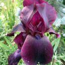 Iris - Bradata perunika, Iris Avtor: zupka  rastline.mojforum.si