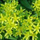 Sedum - Homulica S.acre - ostra homulica  Avtor: zupka rastline.mojforum.si
