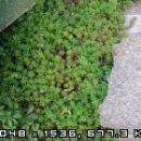 Sedum - Homulica S.acre - ostra homulica Avtor: Romana, rastline.mojforum.si