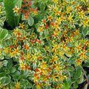 Sedum - Homulica Sedum kamtschaticum Avtor: zupka rastline.mojforum.si