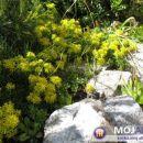 Sedum - Homulica Avtor: magnolija rastline.mojforum.si