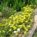Sedum - Homulica Avtor: Roža rastline.mojforum.si