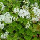 Sedum - Homulica BELI - cvet  Avtor: muha rastline.mojforum.si