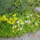 Sedum - Homulica mix - velika rumena, bela Avtor: muha rastline.mojforum.si