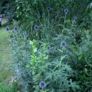 Echinops - Bodoglavec, glavač Avtor: katrinca rastline.mojforum.si