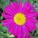 Chrysanthemum - Vrtna marjeta, krizantema C.'Mrs Jessie Cooper' , avtor: zupka, rastline.