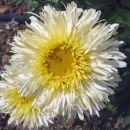 Chrysanthemum - Vrtna marjeta, krizantema C.maximum 'Goldrausch', avtor: zupka, rastline.