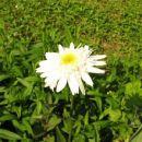 Chrysanthemum - Vrtna marjeta, krizantema Avtor: magnolija, rastline.mojforum.si