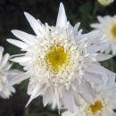 Chrysanthemum - Vrtna marjeta, krizantema Avtor: zupka rastline.mojforum.si