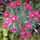 Dianthus - Nagelj, nageljček D.gratianopolitanus 'Spotty'   Avtor: zupka  rastline.mojf