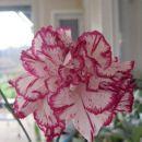 Dianthus - Nagelj, nageljček D.caryophyllus Avtor: zupka  rastline.mojforum.si