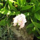 Dianthus - Nagelj, nageljček Avtor:magnolija rastline.mojforum.si