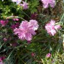 Dianthus - Nagelj, nageljček Avtor:katrinca  rastline.mojforum.si