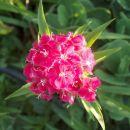 Dianthus barbatus - Turški nagelj, brkati klinček Avtor: katrinca rastline.mojforum.si