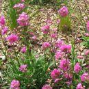 Dianthus - Nagelj, nageljček Avtor:Gretka* rastline.mojforum.si