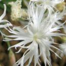 Dianthus - Nagelj, nageljček Avtor:zupka rastline.mojforum