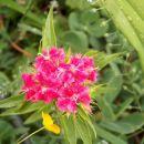 Dianthus barbatus-brkati nageljček-turški nageljček  Avtor: katrinca rastline.mojforum