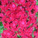 Dianthus barbatus-brkati nageljček-turški nageljček  Avtor: potonka rastline.mojforum